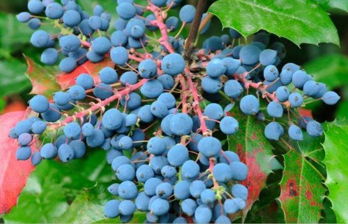 Oregon Grapes pic 1
